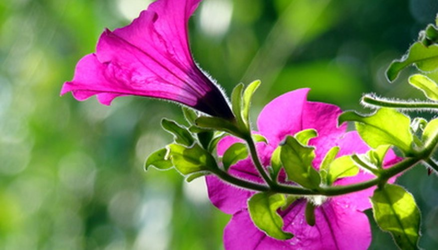 Narrow petunia flowers are tough to navigate by bees.