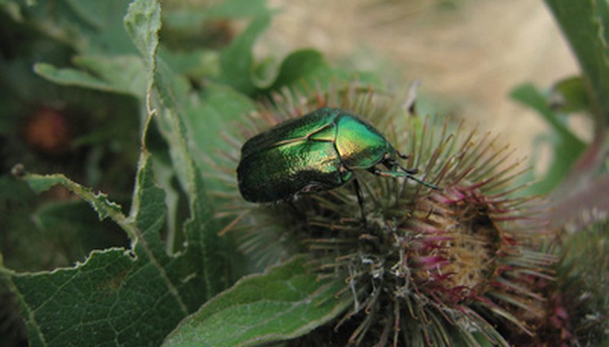 Beetles can damage home gardens by eating flowers and vegetables.