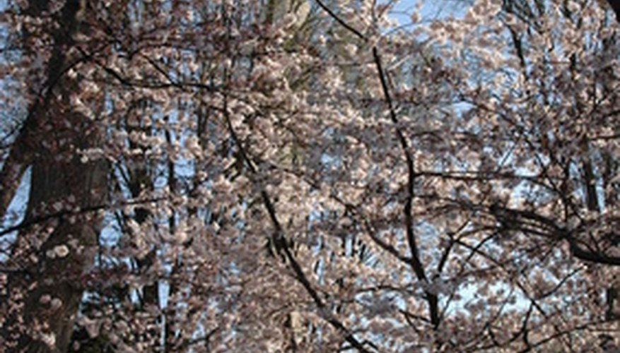 Cherry trees are usually found in the north of Texas.