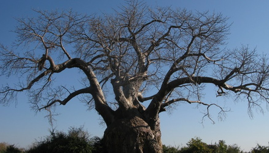 The baobab tree is deciduous during the tropical dry season (winter).