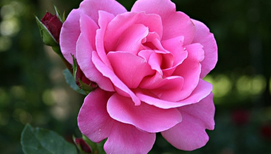 The rose is the world's most popular flower.