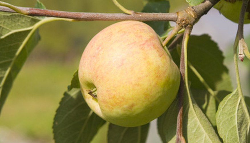 Know when an apple is ripe by observing clues.