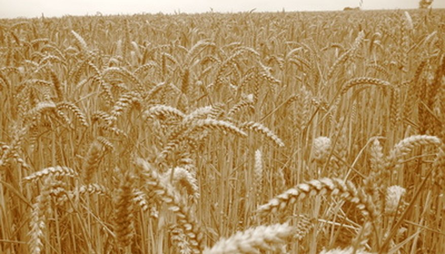 A wheat field in the summer nearing time for harvest.