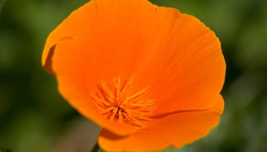 The orange California poppy.