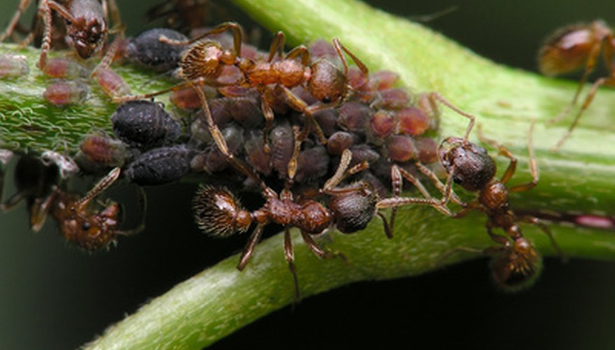 Ants congregate with aphid herds on sunflower branches.