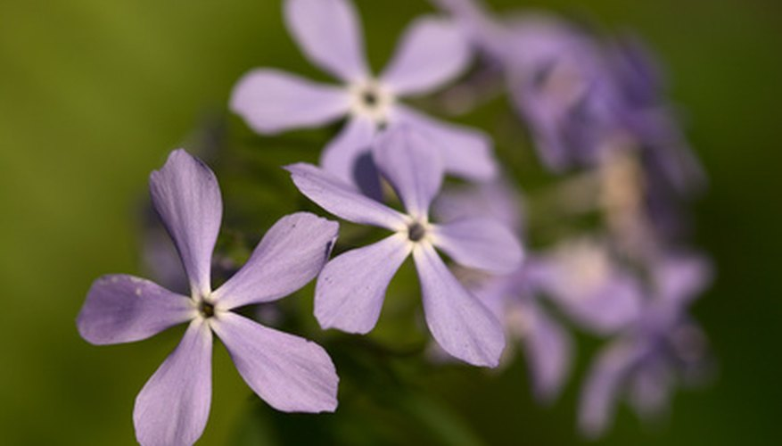 Woodland phlox blooms in spring.