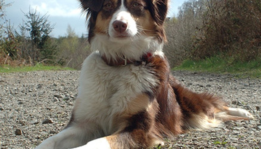 Despite the name, the Australian shepherd breed is an American dog.