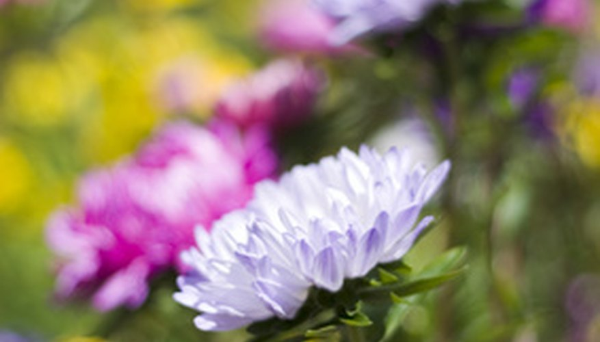 Care for an annual mini chrysanthemum plant  throughout the growing season.