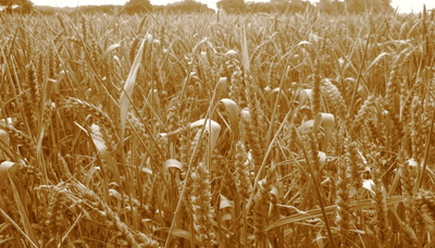 Wheat is one crop that sometimes can be grown in winter.