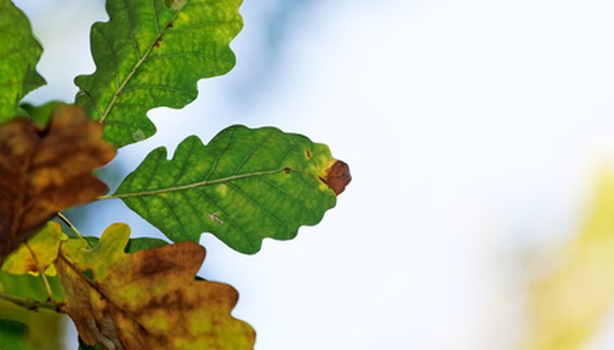 Chestnut oak leaves (Quercus prinus)