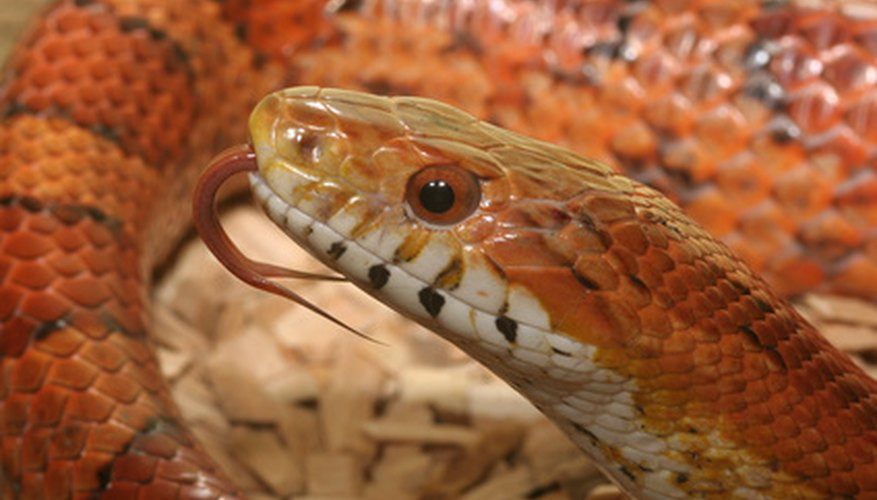 Allergic reactions to snakes in captivity are very rare, but possible.