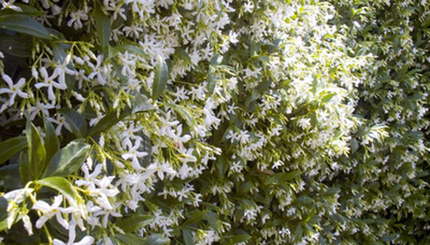 Jasmine privacy hedge