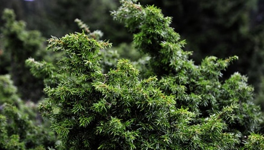 Needle-like foliage of the juniper plant