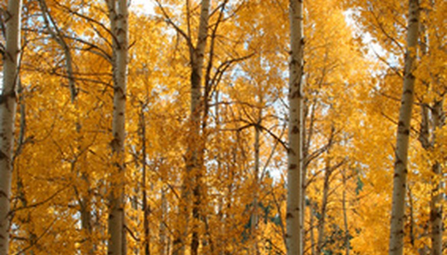 Quaking aspens show off their golden leaves in the fall.