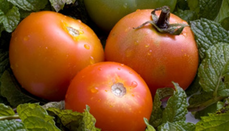 Proper cultivation produces well-formed tomatoes brimming with flavor.