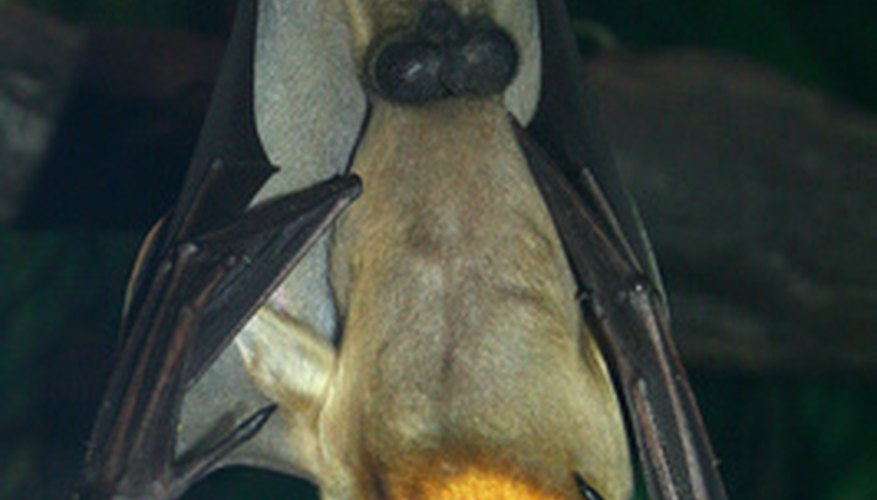 Vampire bats have sharp fangs and drink blood, just like vampires of lore.