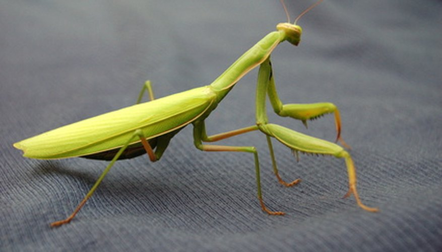The praying mantis is a frightening looking insect.