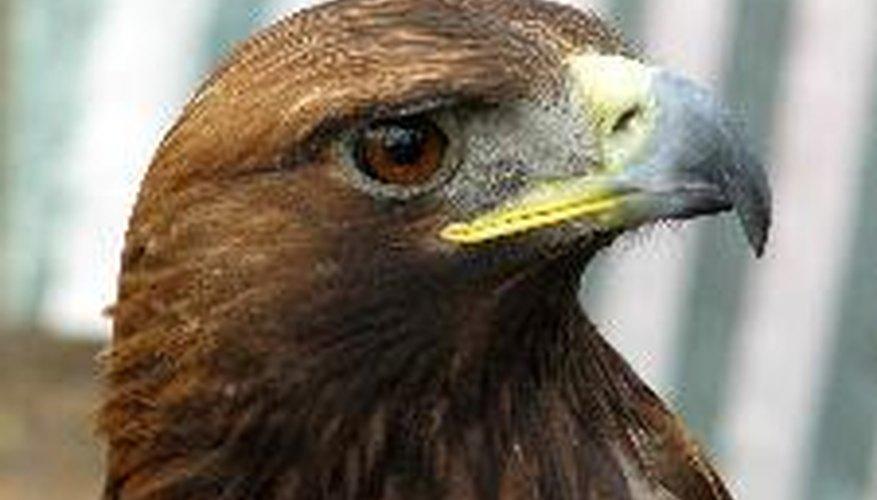 El águila real es un habitante del Gobi.