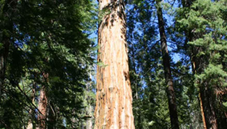 The Giant Sequoia is one of the world's longest-living trees.