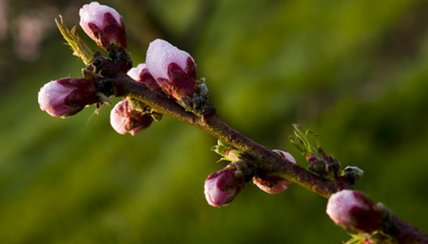 Fertilize peaches before buds open.