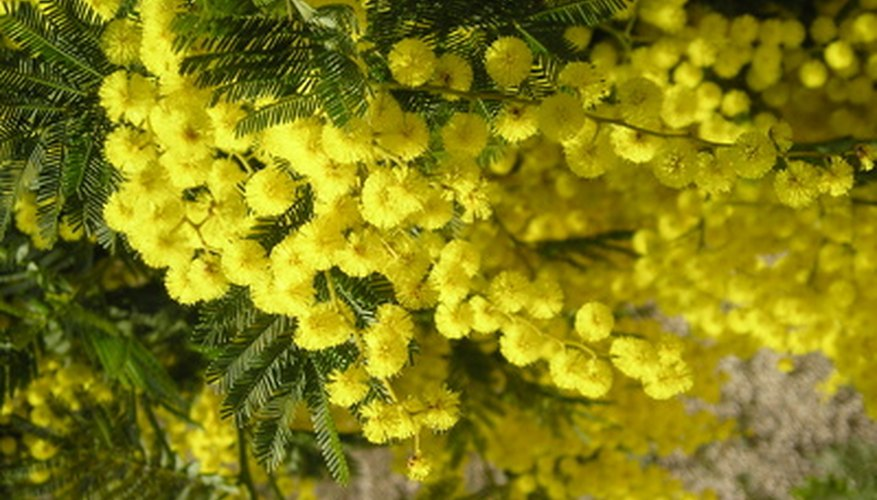 Mimosa trees have fragrant and unusual showy flowers.