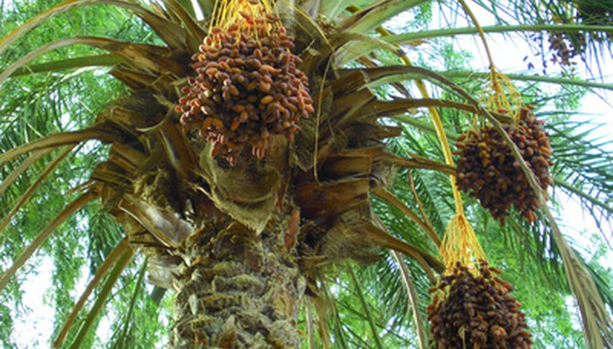 A mature date palm with nearly ripe fruit.