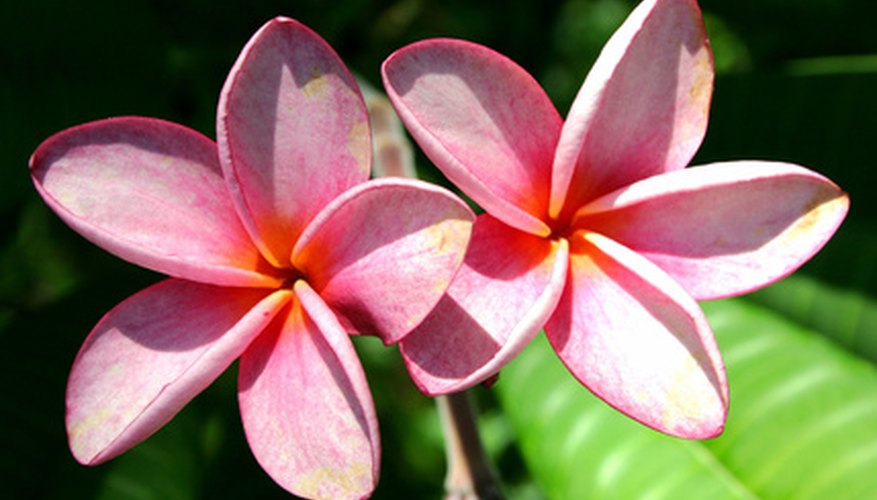 Plumeria in bloom