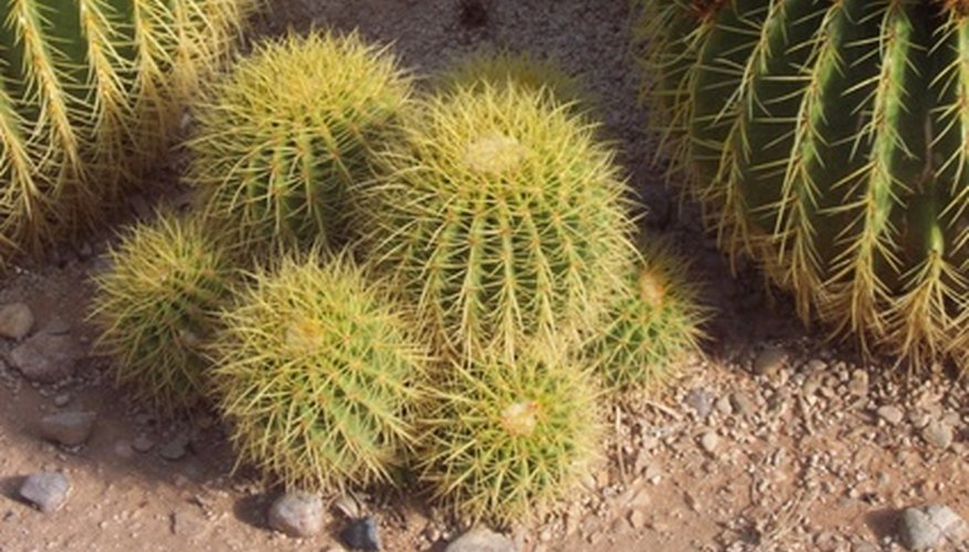 Groupings of cacti will require less water than flowering shrubs or trees.