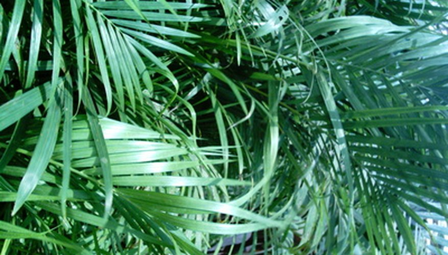 Cut deal palm fronds on a houseplant to keep the palm healthy and attractive.