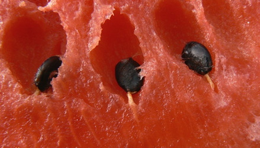Harvest seeds from your garden watermelon.