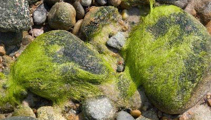 Las algas son responsables de la producción de 30 por ciento por ciento a 50 de oxígeno de la Tierra.