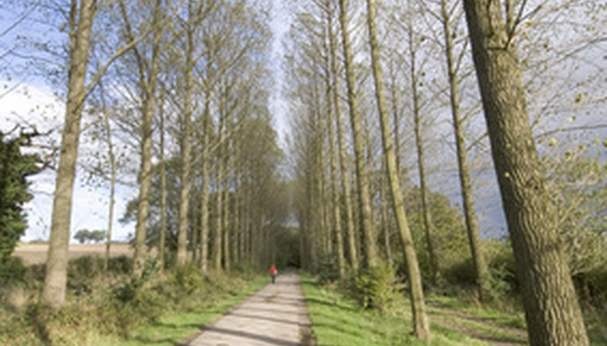 Poplar trees grow quickly, creating privacy screens.
