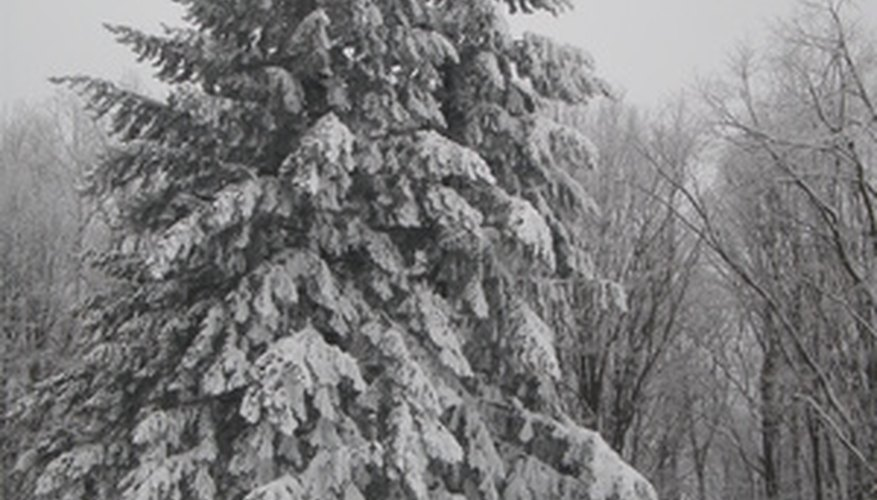 Pine trees grow well in cold winter climates.