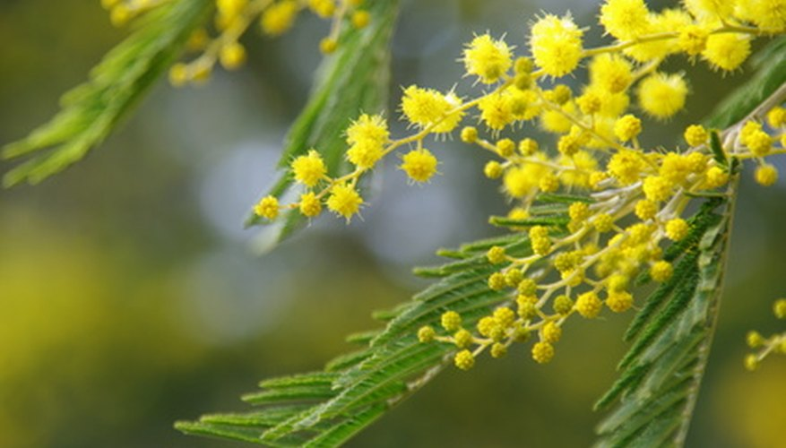 Three varieties of mimosa grow native in the Texas Rio Grande Valley.
