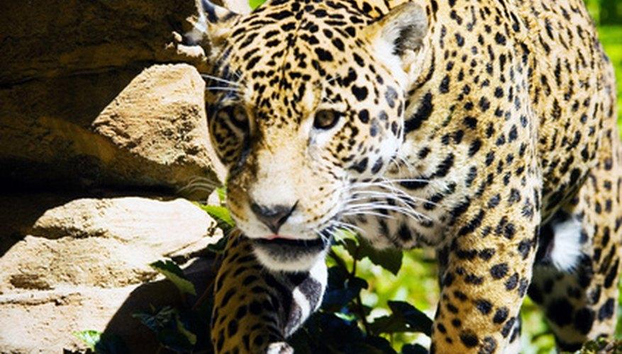 Un jaguar en posición de ataque.