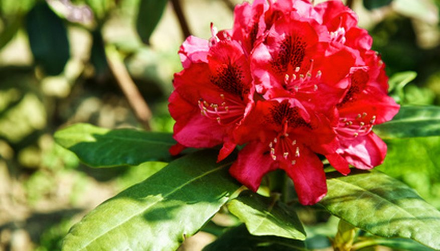 Rhododendrons are beautiful but poisonous shrubs.