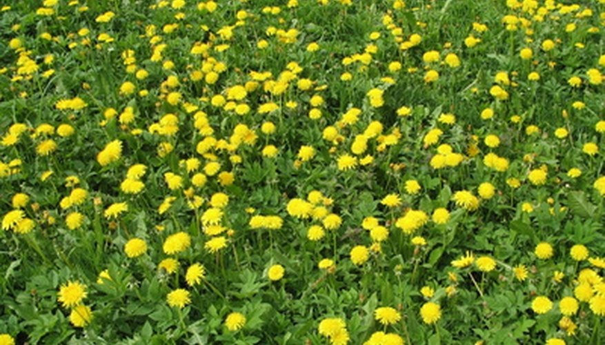 Eradication of whole-lawn infestations may require chemical herbicides.