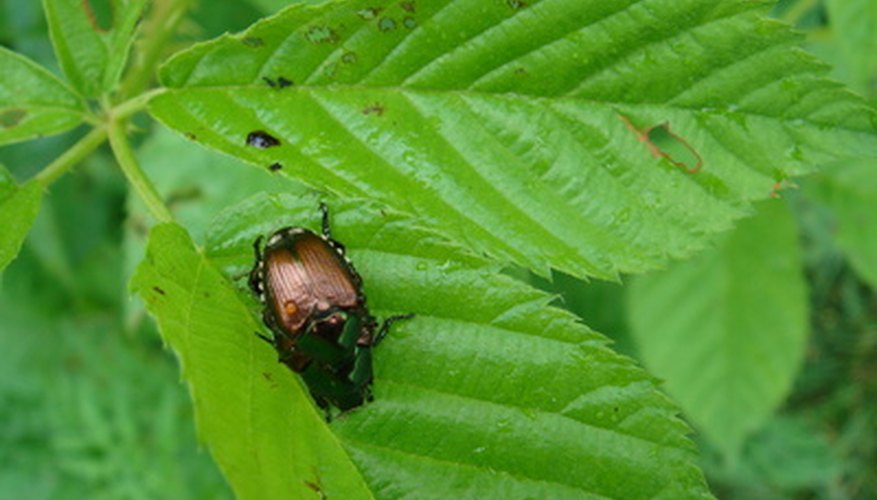 June bugs come from voracious white grubs.