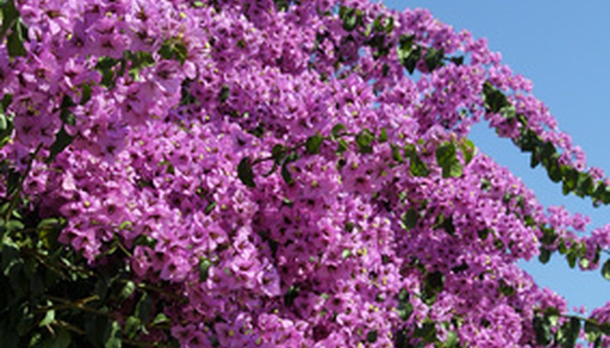 Bougainvillea grown outdoors can be spectacular.