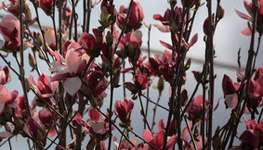 Plant early blooming smaller magnolias where they can be seen