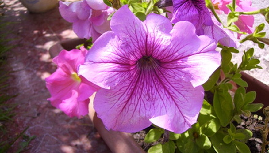 Petunia bedding plants are available in a variety of colors, sizes and textures.