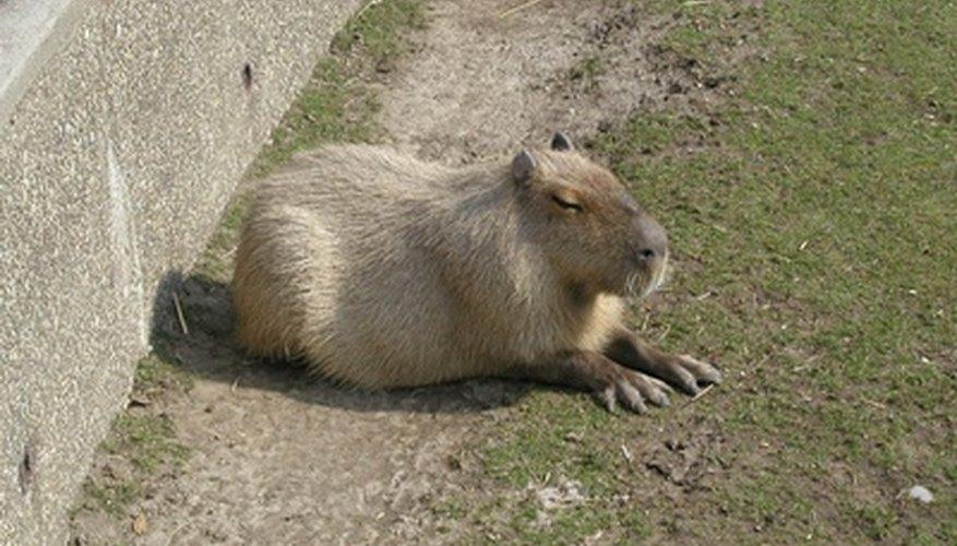 Los capibaras son los roedores más grandes del mundo.