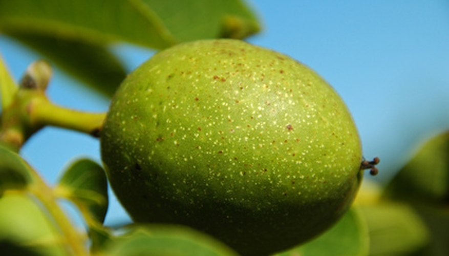 The leaves, fruit and roots of the black walnut trees carry the highest levels of the plant toxin juglone.