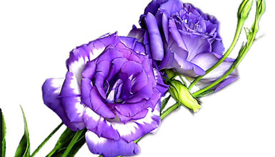 Lisianthus flowers resemble those of wild roses.