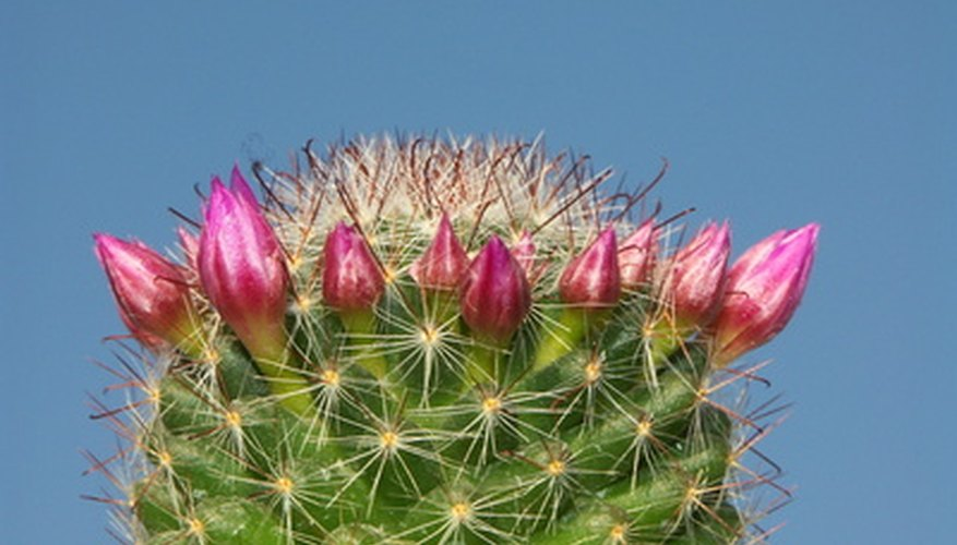 The budding pink flowers of the fishhook cactus