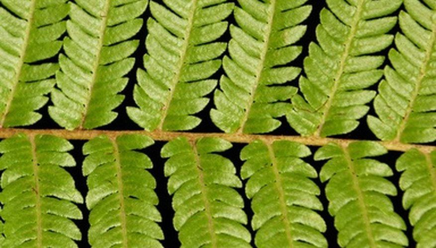 Foliage of the Dicksonia Antartica tree fern.