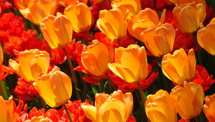 Tulips grow from bulbs.