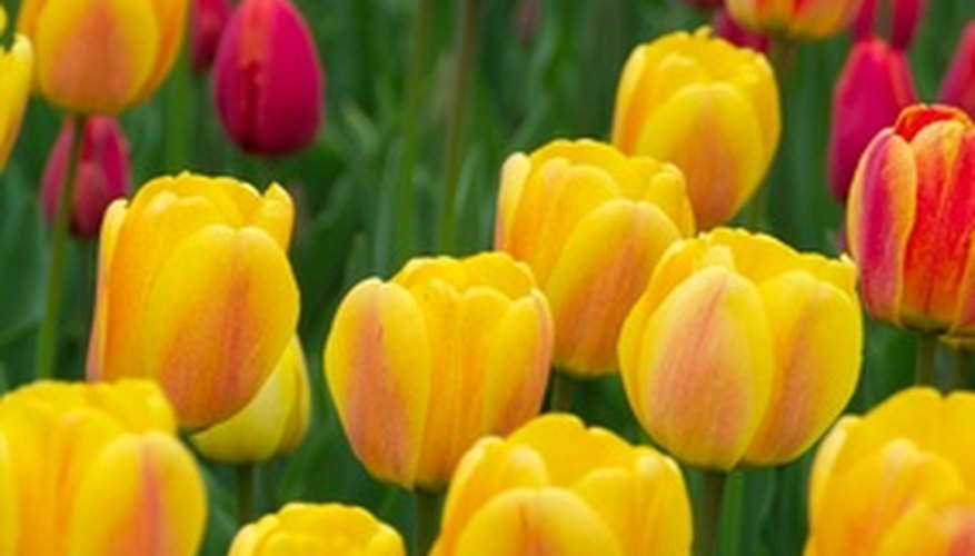 Use other flowers to contrast tulip flower's colors and sizes.