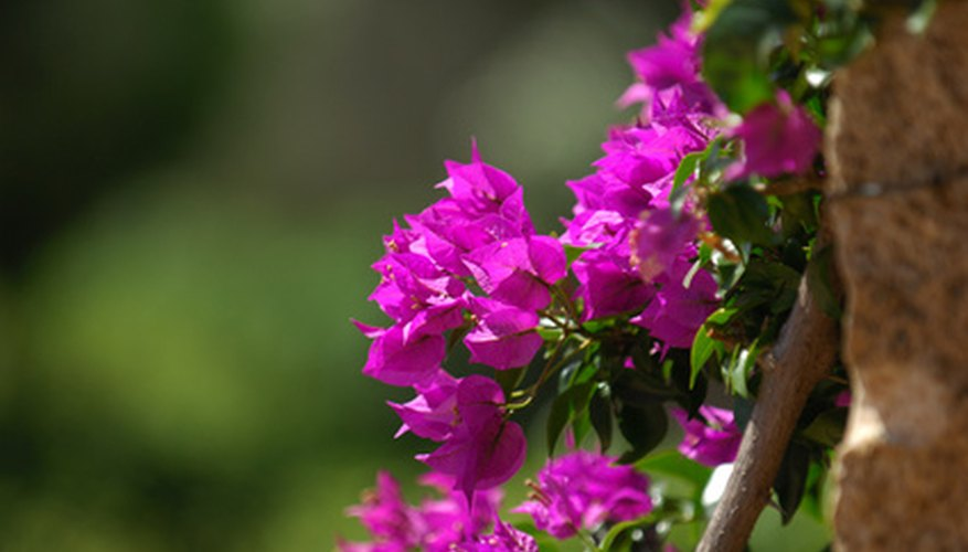 Train bougainvillea up a trellis.