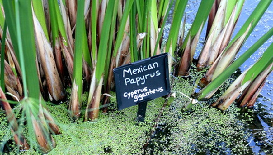 Mexican papyrus plant.